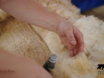 Shearing Course 14.09.19