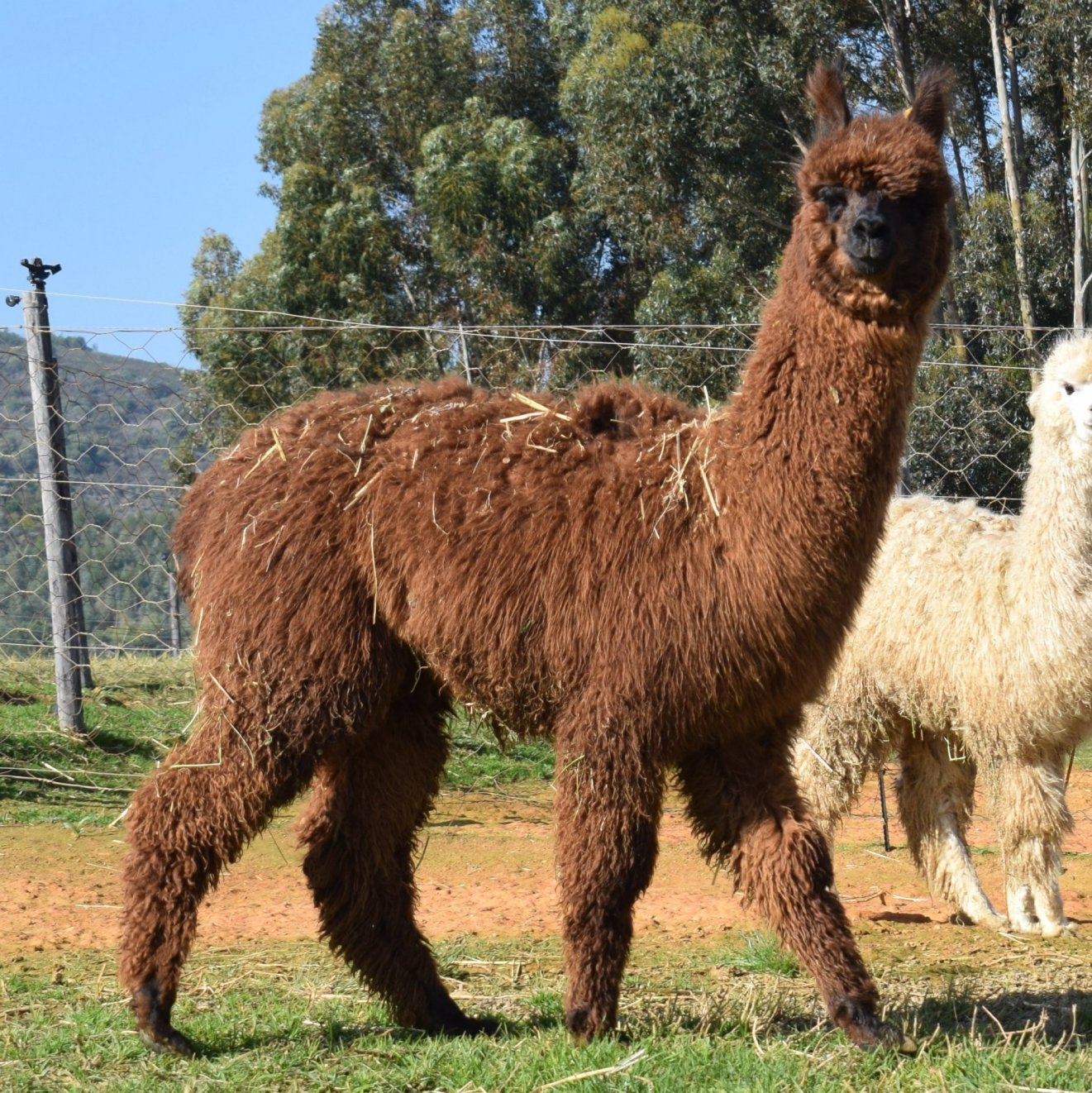 Coco, Brown Alpaca Male, DOB 2018